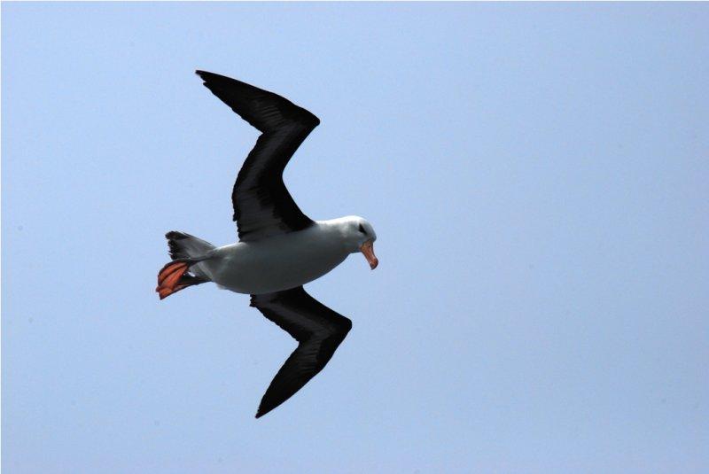 Blackbrowed Albatross - Thalassarche melanophrys - Drake PassageDSC_5690.JPG
