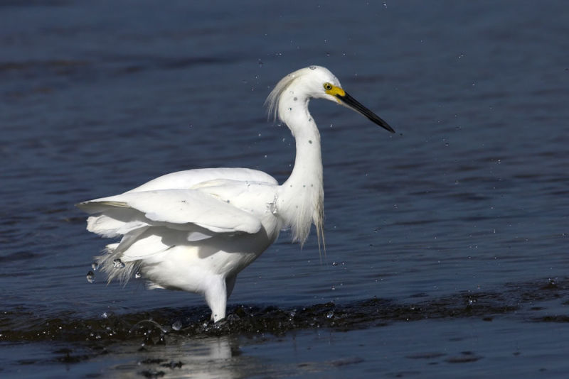 Snowy Egret, drying off