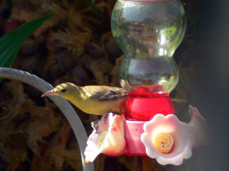 Female Hooded Oriole at my feeder.jpg