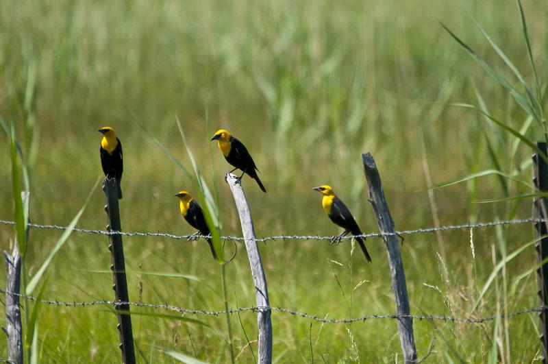 Group of Yellow Headed Blackbirds.jpg