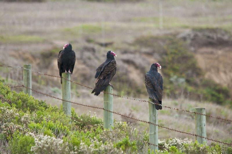 california vultures.jpg