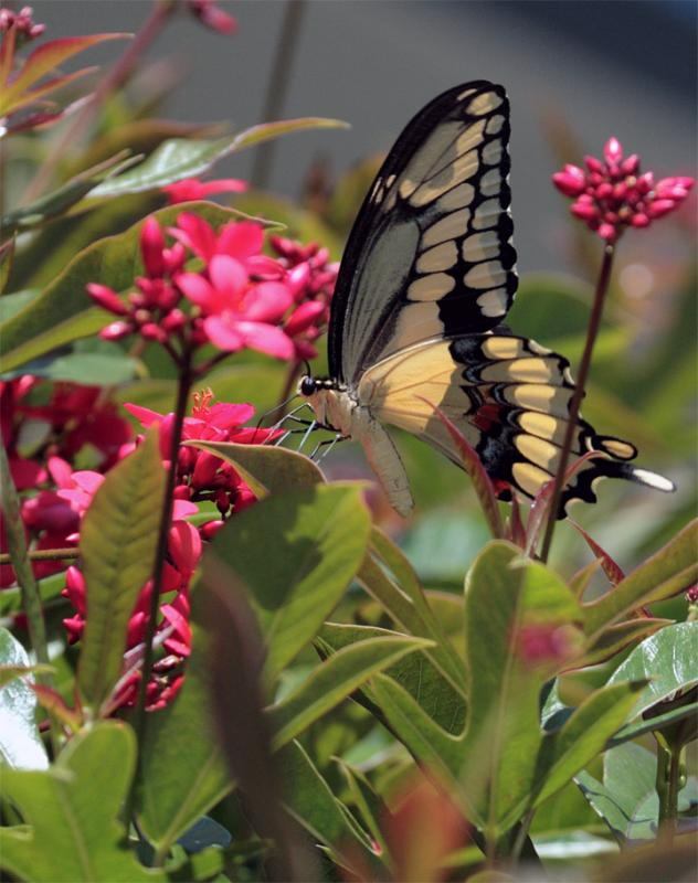 Yellow Butterfly in the flowers.jpg