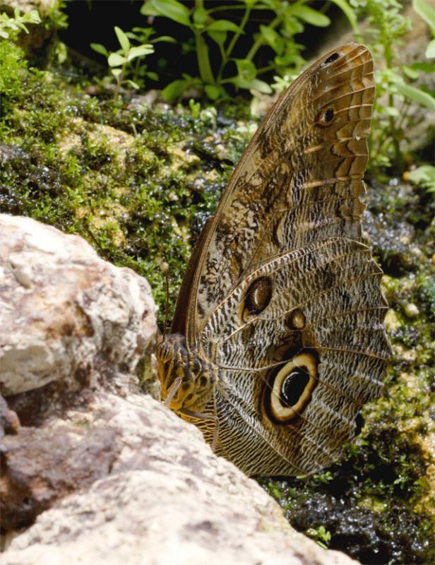 Owl Butterfly on Rock.jpg