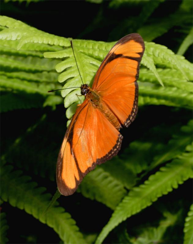 Orange Butterfly on Fern.jpg