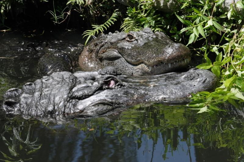 Cypress Gardens Two Gator Heads.jpg