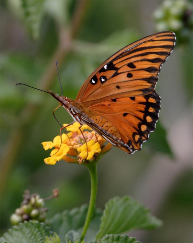 Orange Butterfly feeding on yellow flower.jpg