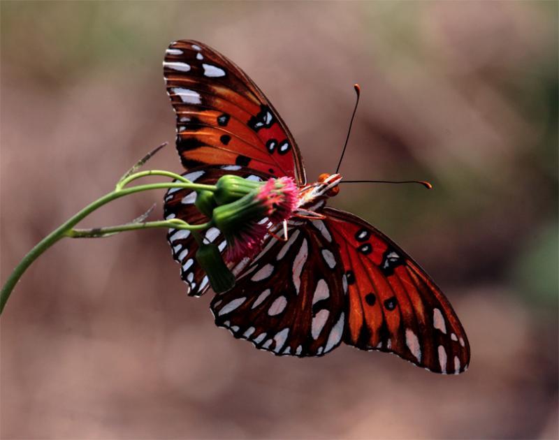Orange and black butterfly feeding.jpg