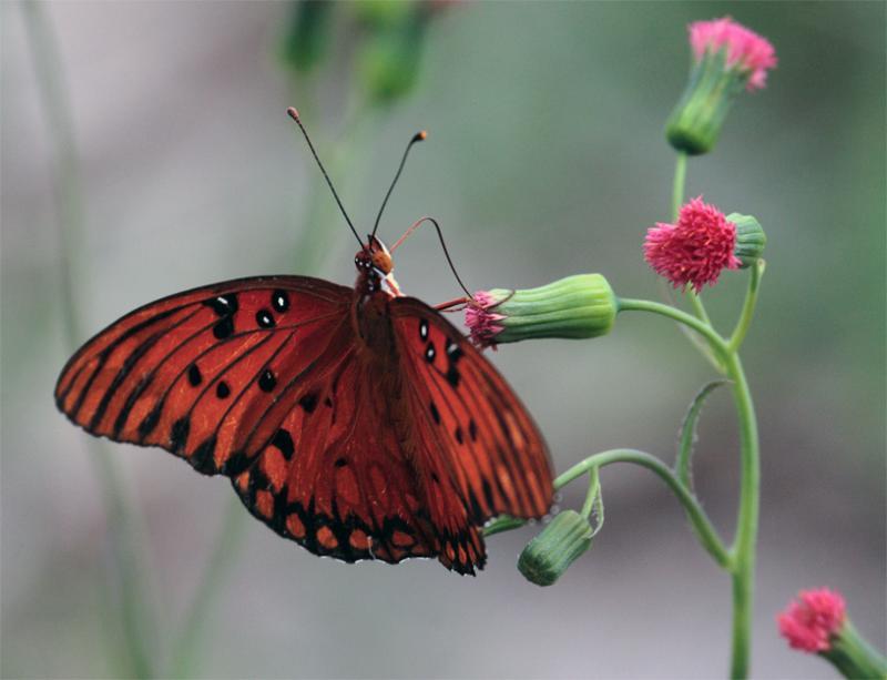 Orange Butterfly on red flower.jpg