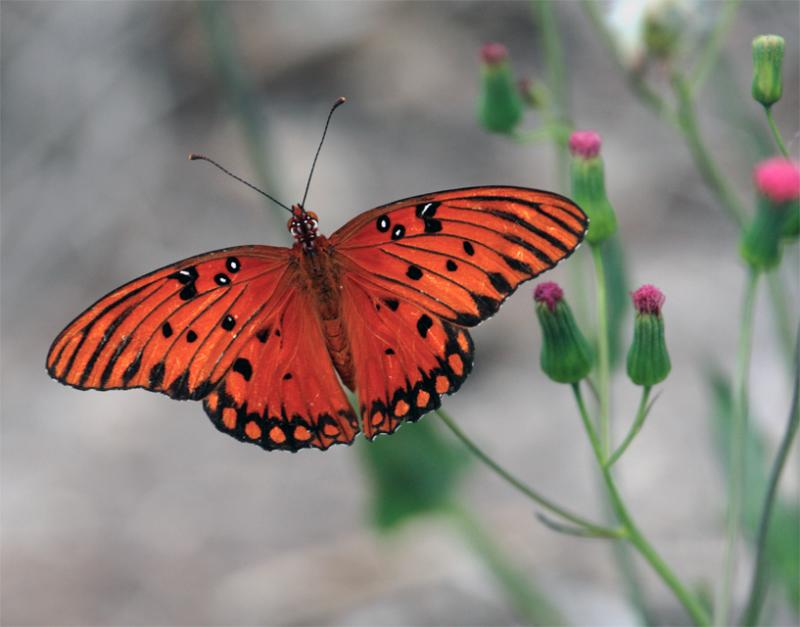 Orange and black butterfly.jpg