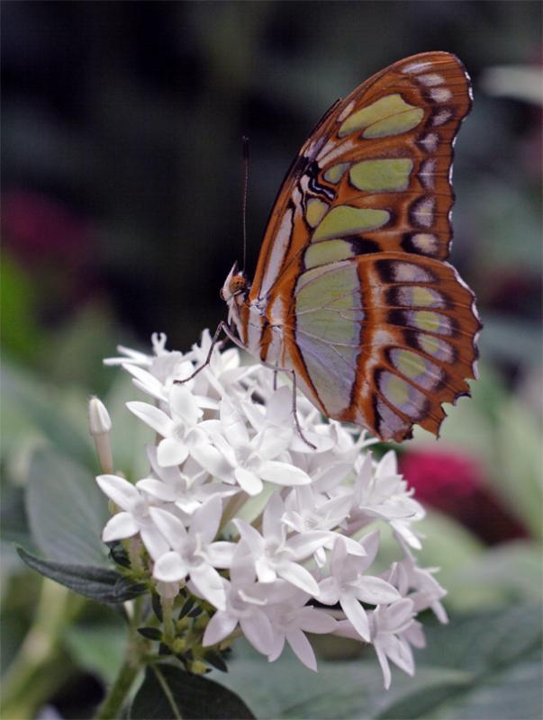 Malachite Butterfly on white flower.jpg