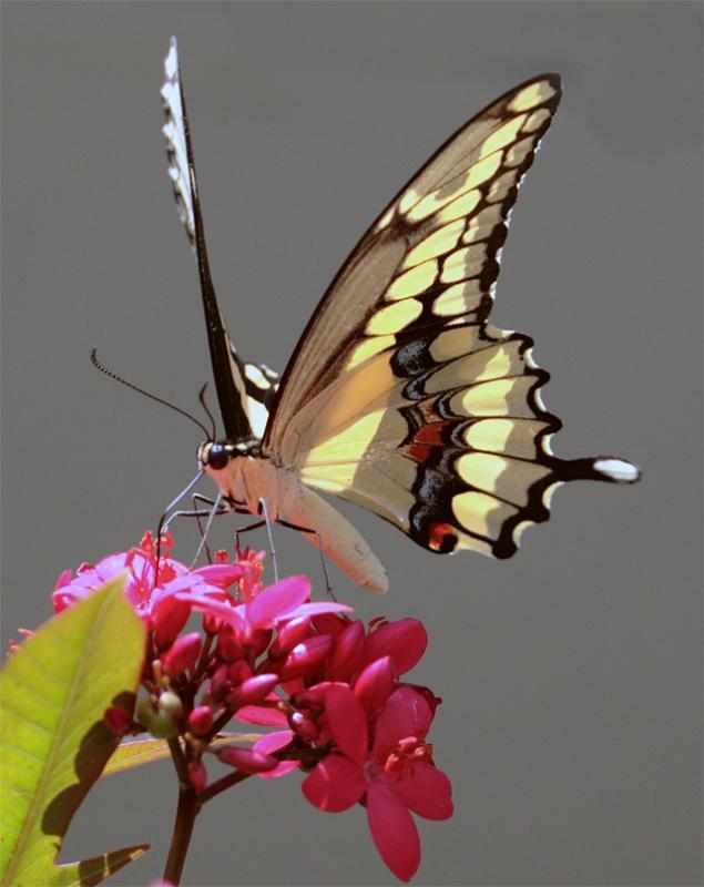 Dusky Swallowtail.jpg