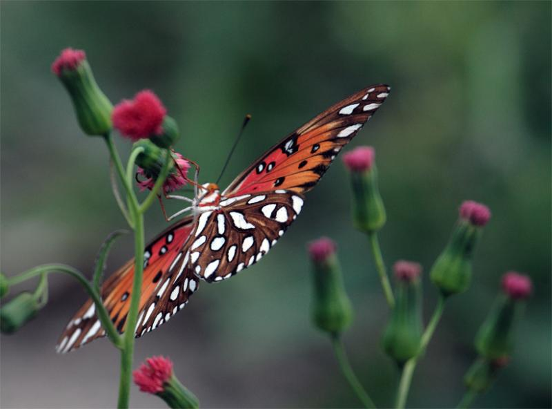 Butterfly Hanging on red flower.jpg