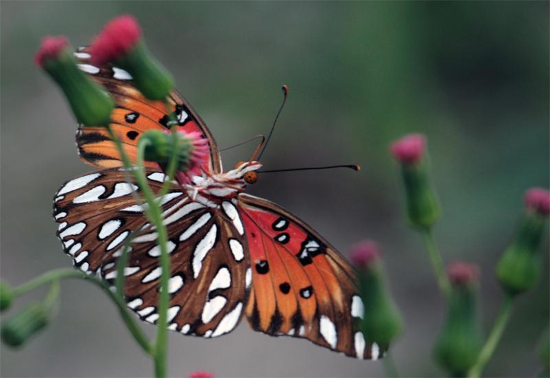Butterfly Feeding on red flower.jpg