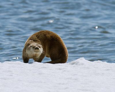 Otter Stretching.jpg