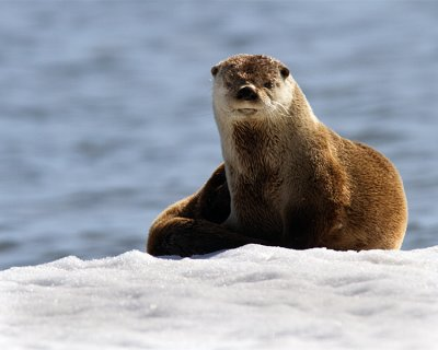 Otter Sitting on the Ice.jpg