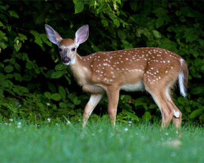 Fawn Nibbling on Grass.jpg