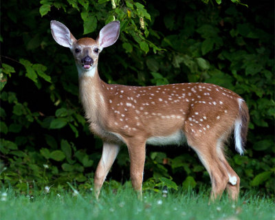 Fawn Sticking His Tongue Out.jpg