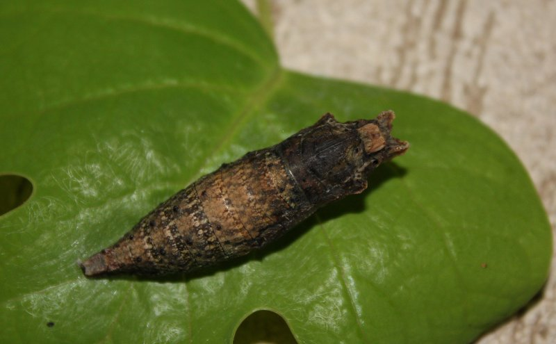 Eastern Tiger Swallowtail Pupa