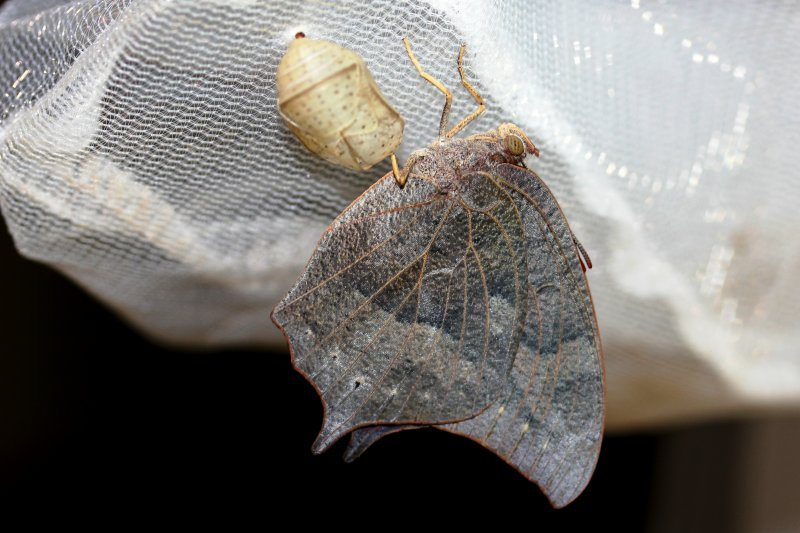 Goatweed Leafwing - newly eclosed