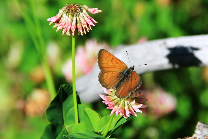 Lycaena mariposa