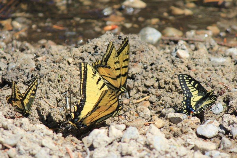Papilio species