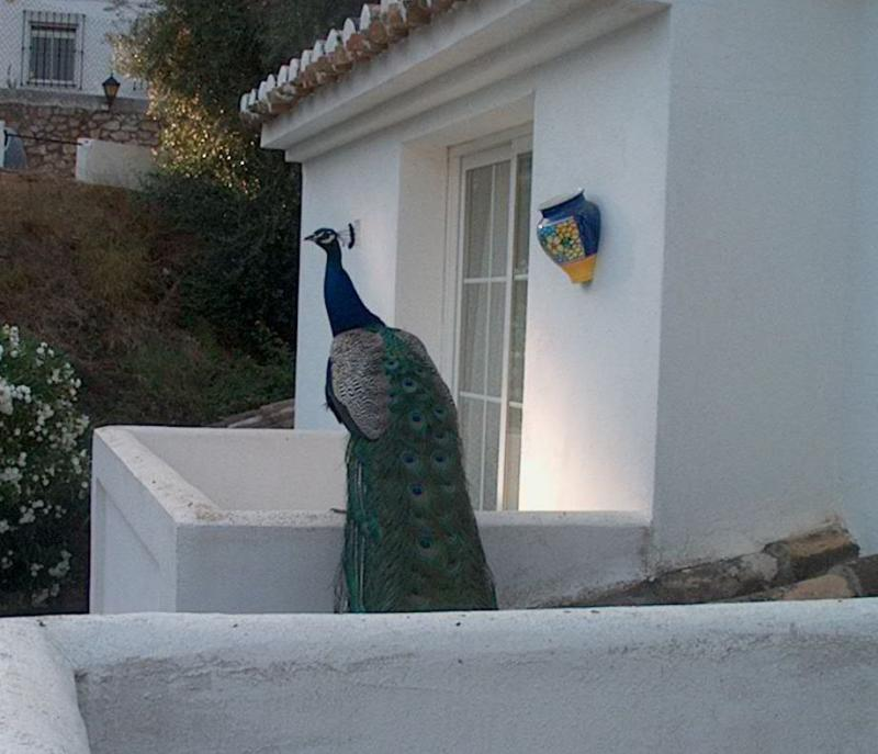 Peacock on balcony
