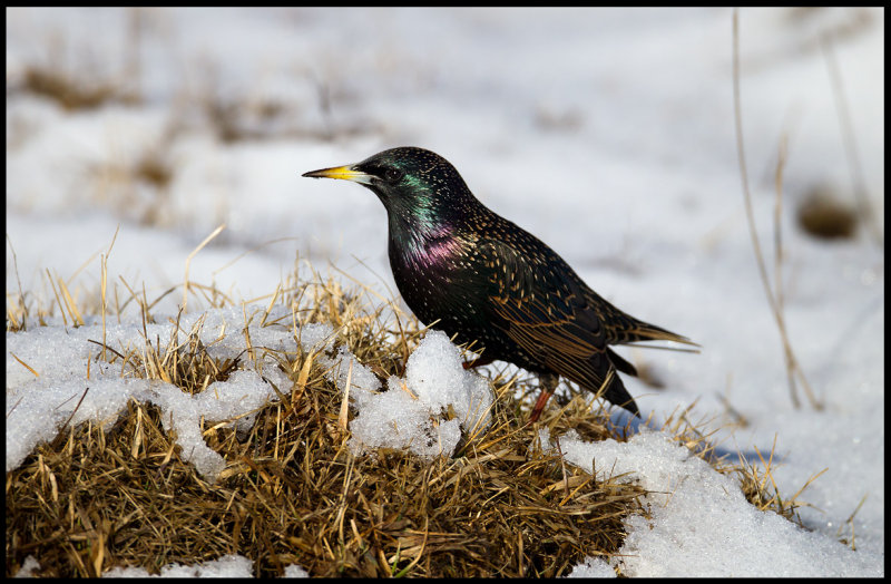 Starling in snow near Ottenby Kungsgård