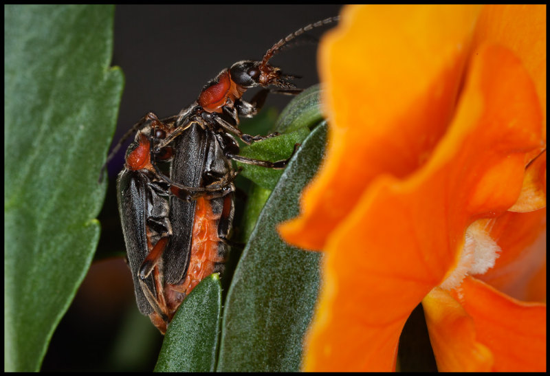 Mating Cantharis fusca (Flugbaggar) in my garden