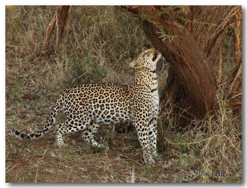 1024leopard 100P6174234V.jpg