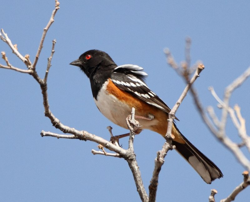 15. Spotted Towhee