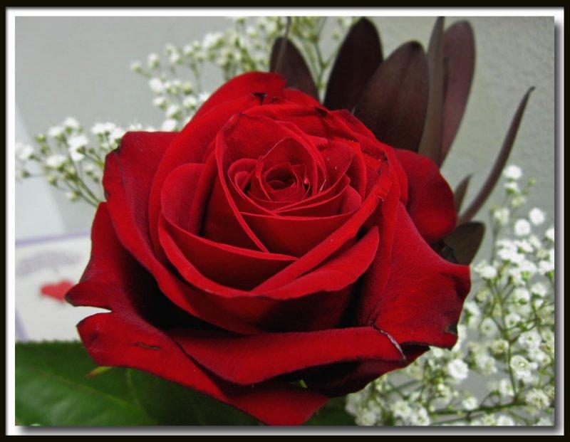 IMG_4159  Rose