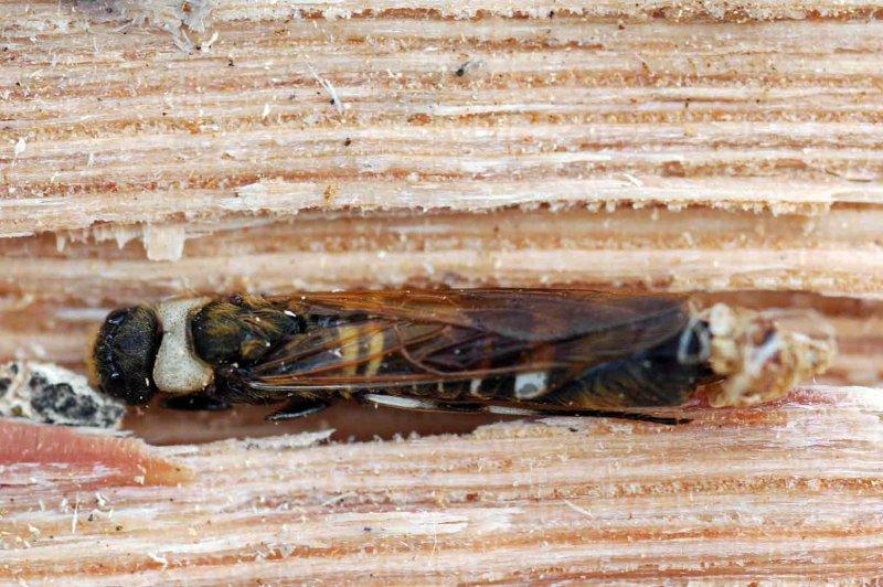 05 Siricid Wood Wasp 9173