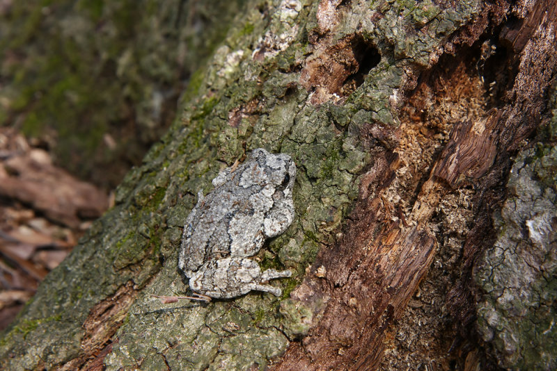 Northern Gray Treefrog