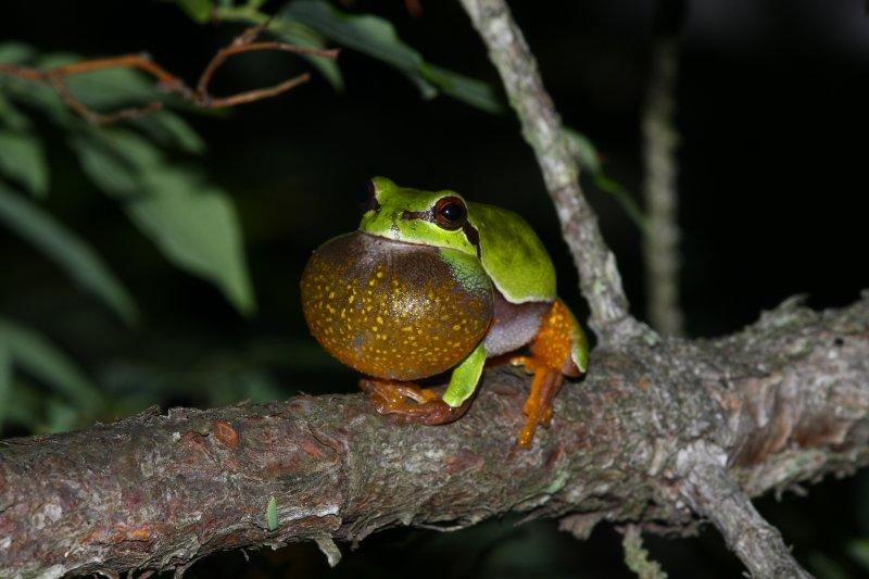 PBTreefrog2.jpg