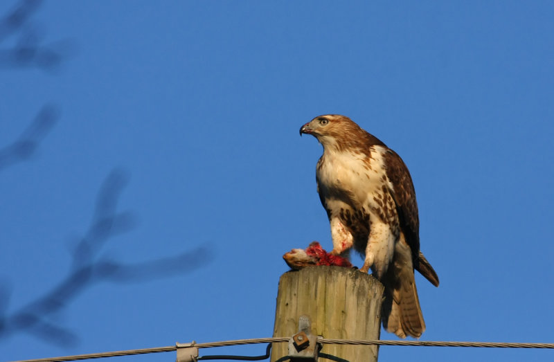 Red-tailed Hawk eating a squirrel