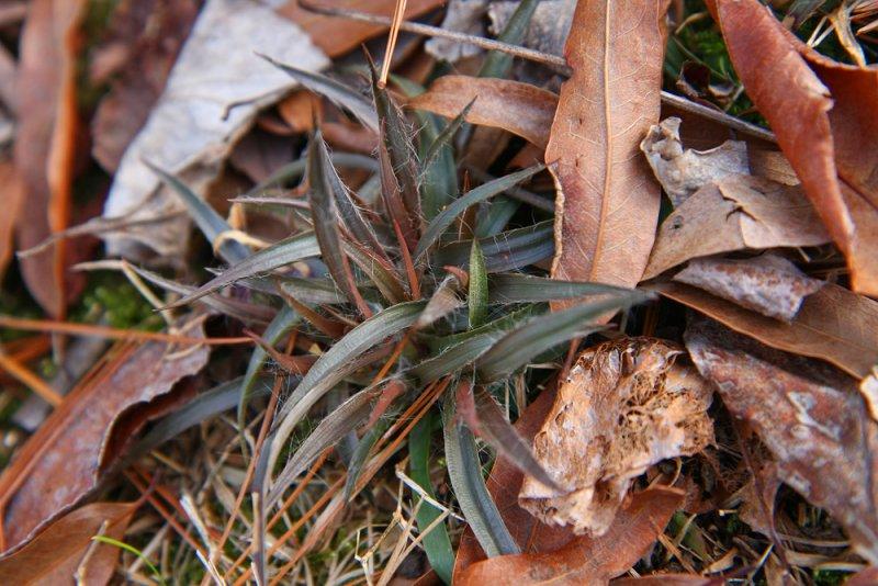 Luzula multiflora- Common Woodrush