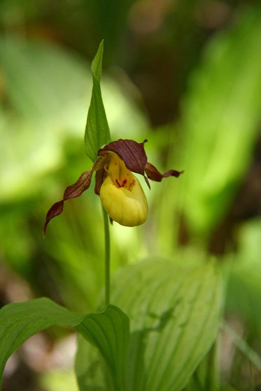 Cypripedium parviflorum var. makasin- Fen Small Yellow Ladys Slipper