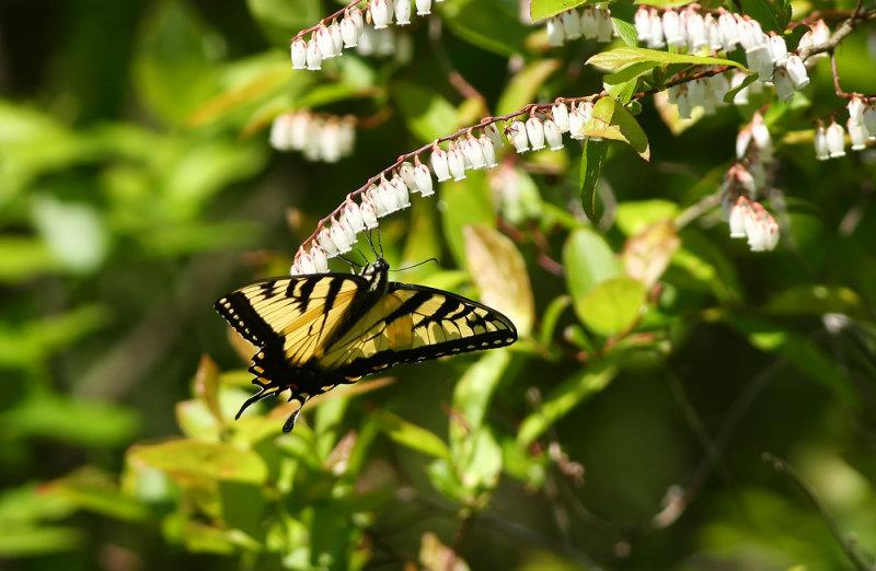 Tiger Swallowtail on Fetterbush
