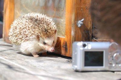 Hedgehog photo shoot