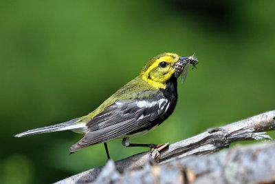 IMG_6811a Black-throated Green Warbler male.jpg