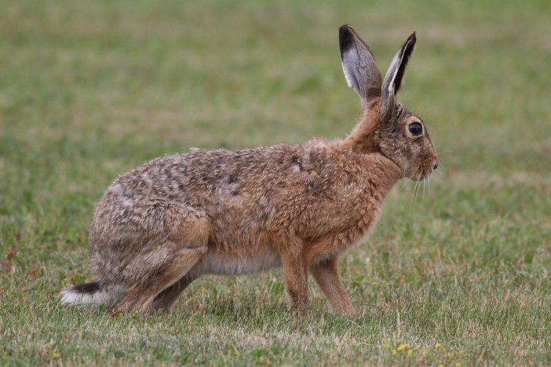 European Hare (Lepus europaeus) - fälthare