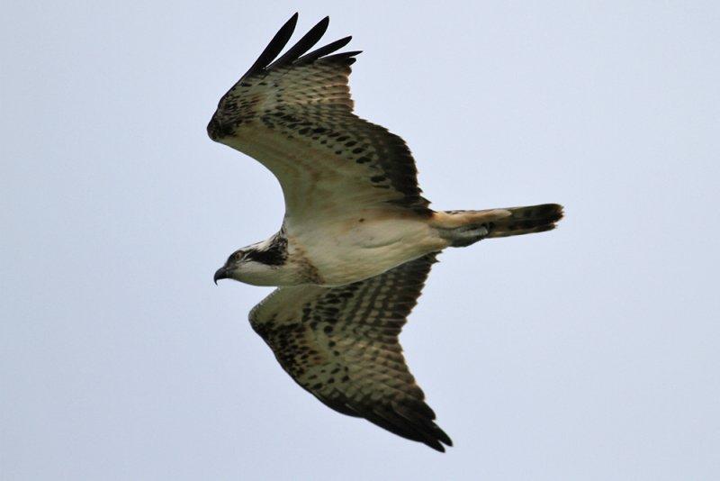 Osprey (Pandion haliaetus) - fiskgjuse