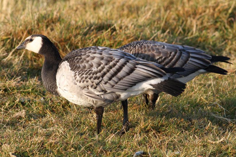 Barnacle Goose (Branta leucopsis) - vitkindad gås