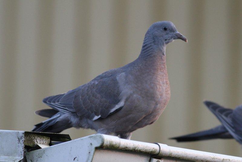 Common Wood-Pigeon (Columba palumbus) - ringduva
