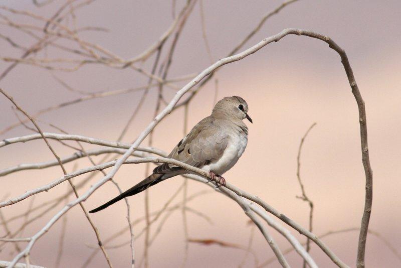 Namaqua Dove (Oena capensis) - långstjärtsduva