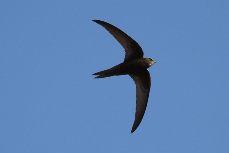 Common Swift (Apus apus) - tornseglare