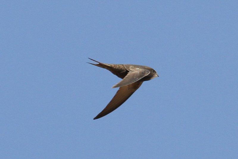 Common Swift (Apus apus pekinensis) - tornseglare