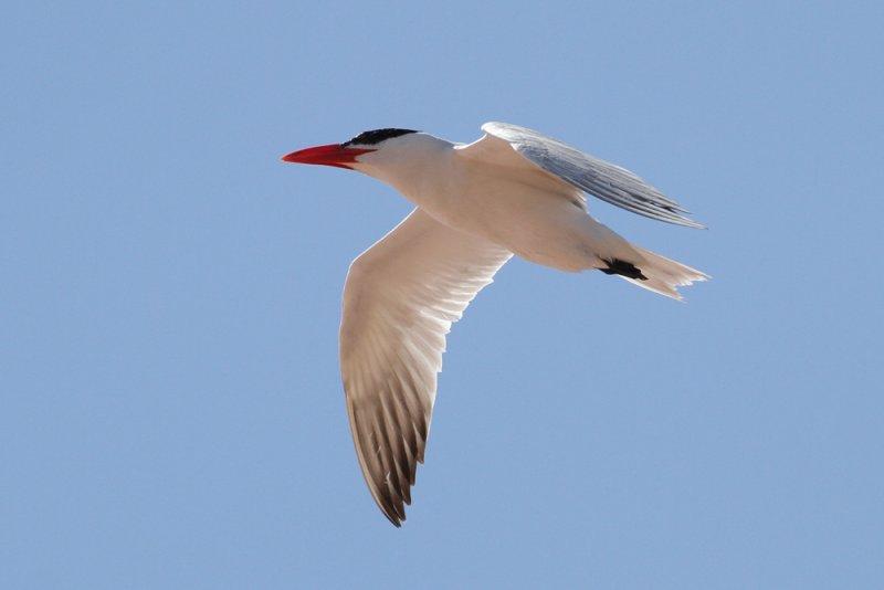 Caspian Tern (Hydroprogne caspia)- skräntärna