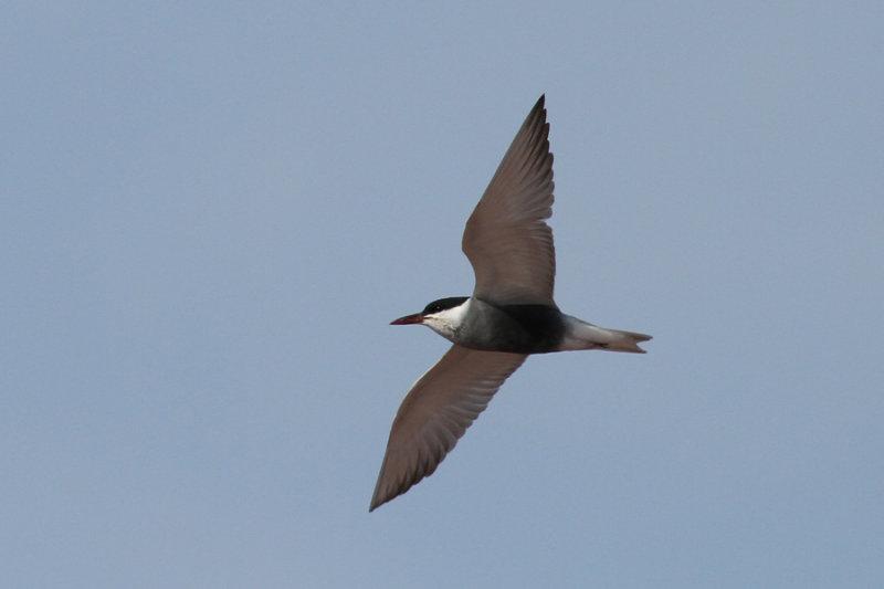 Whiskered Tern (Chlidonias hybrida) - skäggtärna