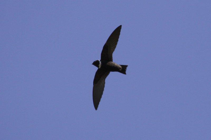 White-collared Swift (Streptoprocne zonaris) - halsbandseglare